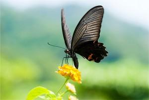 Swallowtale-Butterfly